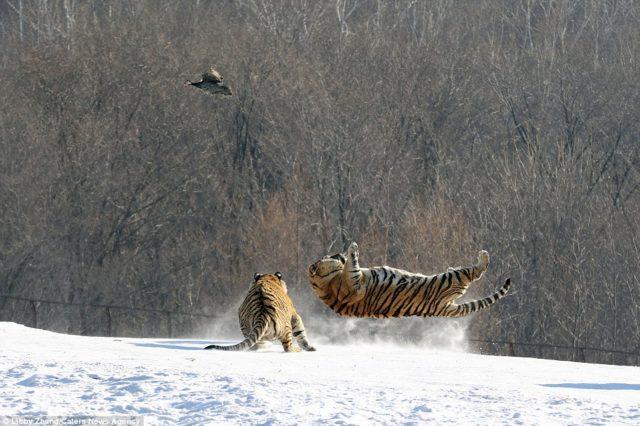 Kinë, ja si e kapin tigrat siberianë dronin që i filmon (VIDEO)