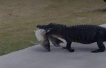 Florida, aligatori i uritur kalon në fushën e golfit (Video)