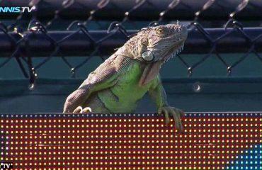Një iguana në fushën e lojës, tenisti bën 'selfie' (Video)