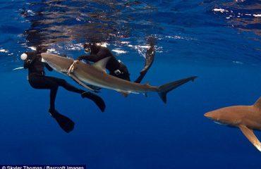 T'i shpëtosh jetën peshkaqenit (Foto & Video)
