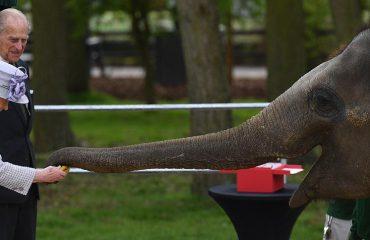Mbretëresha, një banane për t'u miqësuar me elefantin (Video)
