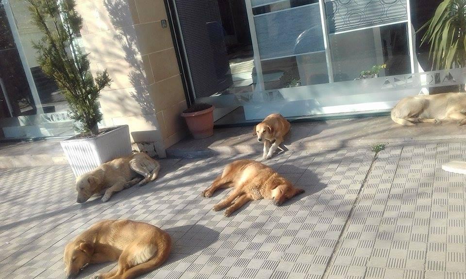 Sulmi i qenve endacakë: Zgjidhja e bashkisë Lezhë: Shmangni panikun dhe rrini larg