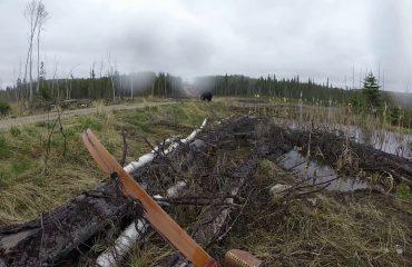 Kanada, gjahtari sulmohet nga ariu i zi (Video)