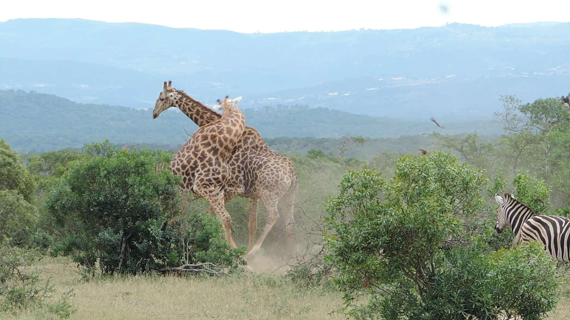Pamje spektakolare se si grinden dy gjirafa, zebrat bëjnë sehir (FOTO)
