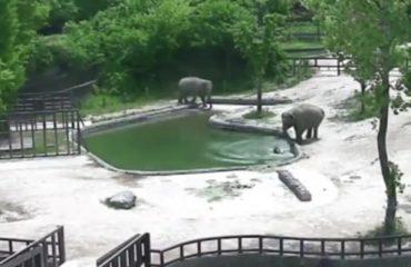 Këlyshi bie në ujë, çifti i elefantëve e shpëtojnë (Video)