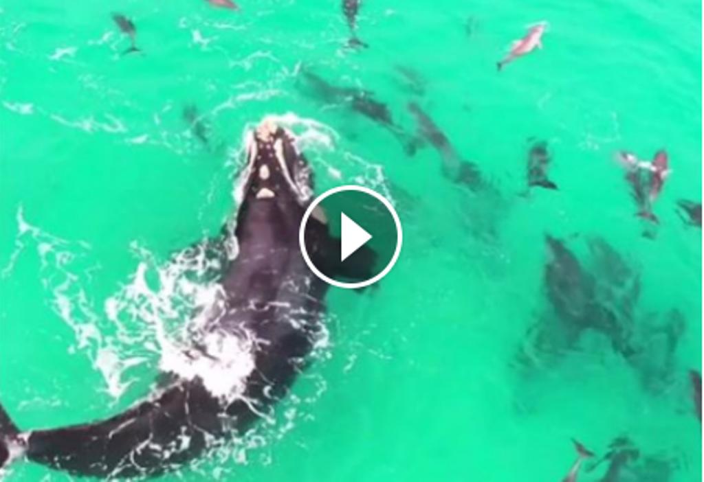 VIDEO-SPEKTAKËL / Balena filmohet nga droni, shikoni çfarë bën me delfinët