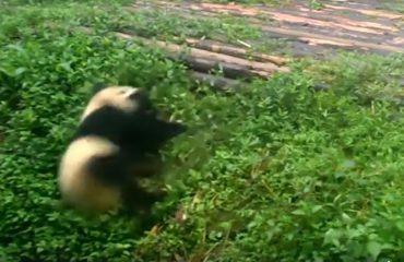 Arushët panda teksa rrokullisen, loja që ka rrëmbyer zemrat e miliona njerëzve (VIDEO)