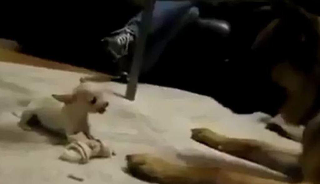 Shikoni si e mbron me trimëri kockën e preferuar ky këlysh i vogël qeni (Video)