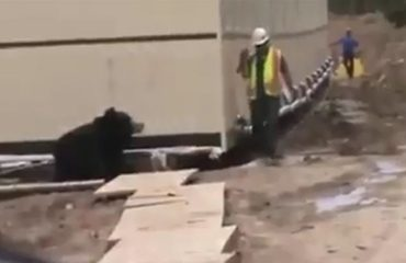 Kur të del ariu përpara nuk ka burrëri, shikoni çfarë i ndodh shefit (VIDEO-HUMOR)