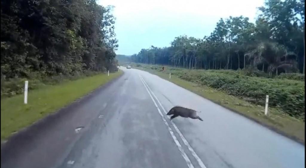 Trajneri i Valencia-s në spital, Marcelino përplaset me derrin e egër në autostradë