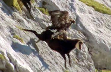 Sulmi i tmerrshëm i shqiponjës, shikoni si arrin të rrëmbejë me kthetra dhinë e egër (VIDEO)