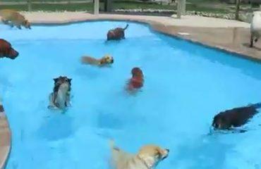 Pishinat nuk janë vetëm për njerëzit, shikoni si zbaviten edhe qentë (VIDEO)