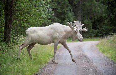 Kjo është një specie drejt zhdukjes, një kafshë e ngjashme me një dre të bardhë