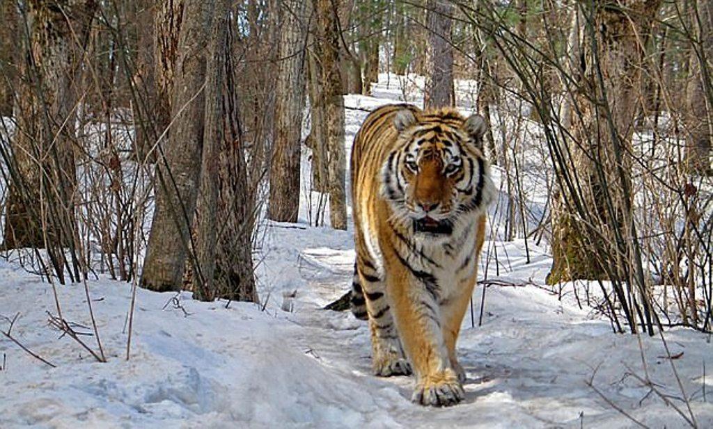 E pabesueshme, tigri me dhëmbë të prishur zbret në fshat dhe kërkon ndihmën e njerëzve (VIDEO)