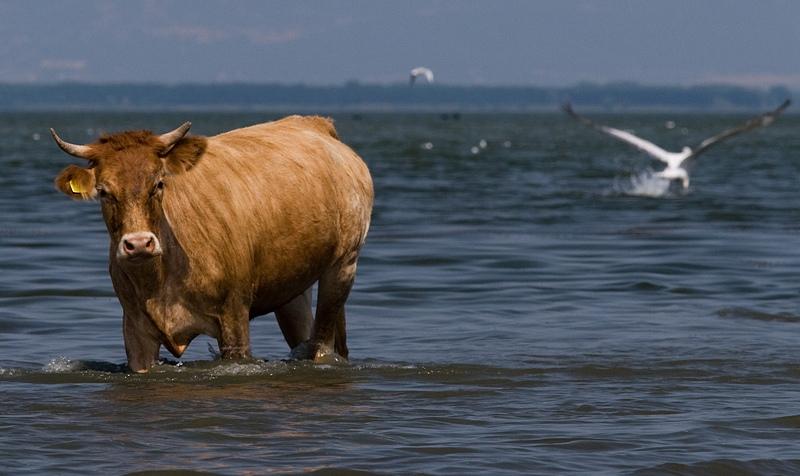 Lopa arratiset nga thertorja, kalon liqenin me not për të shpëtuar nga kasapi