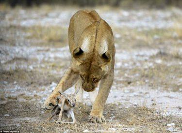 Mos u shqetëso, dre ... Nuk do të kafshoj! Edhe luanesha jep leksione humanizmi (Foto)