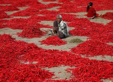 Si prodhohet piperi i kuq që përdoret në gatim? Shikojeni këtu