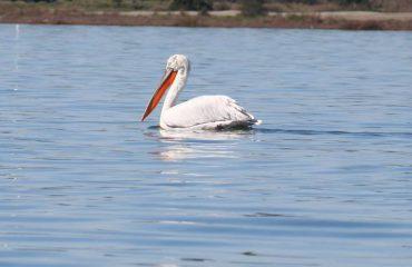 """Pelikani kaçurrel ngjan sikur flet me turistët: """"Ja pse u riktheva në mbretërinë time"""" të Karavastasë (Foto)"""