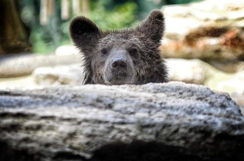 Romë: Shtëpi e re për tre këlyshë ariu nga Shqipëria