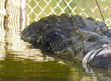 """Krokodili i rrezikshëm 600 kg kapet pas 10 vjet """"përndjekjeje"""""""