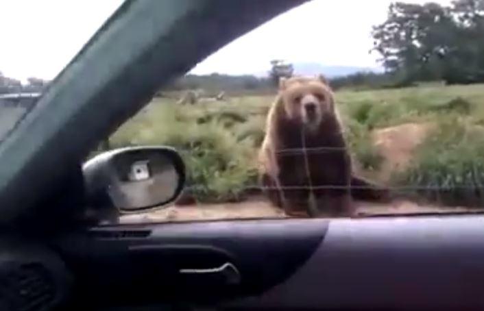 VIDEO/ Pamje të rralla, ariu u kthen përshëndetjen me putër turistëve