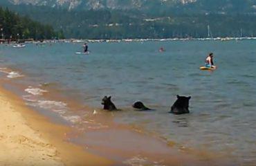 VIDEO/ Pamjet e rralla, arinjtë bëjnë plazh në liqen dhe rikthehen në pyll