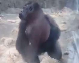 VIDEO/ 'Çmendet' gorilla, ja fut me grusht xhamit në kopshtin zoologjik
