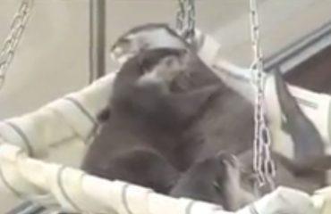 VIDEO/ Dashuri kastorësh, shikoni si përkëdhelen me njëri-tjetrin