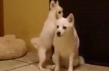 VIDEO/ Ky qen nuk ja ka ngenë lodrave, shikoni sa serioz sillet me këlyshin që kërkon të luajë