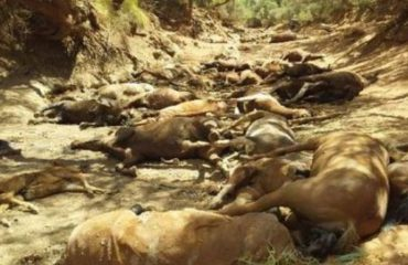 Masakër në Australi, kuajt po ngordhin në masë nga temperaturat përvëluese