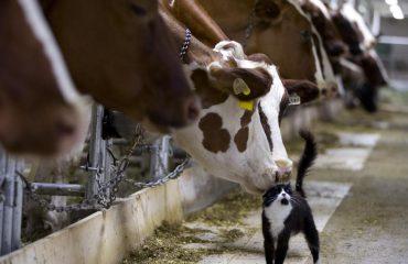 Lopët presin të milen, po me macen çfarë po bëjnë?