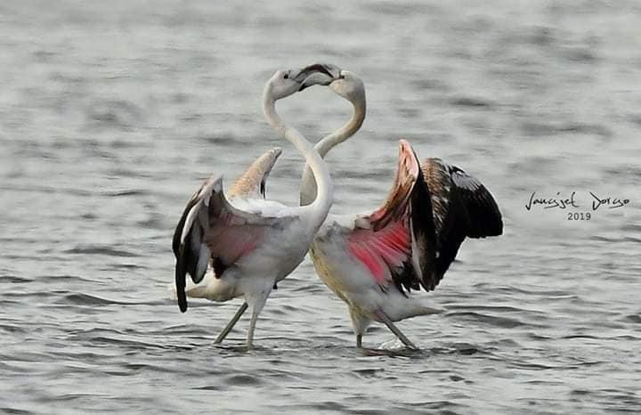 Flamingot-spektakël për Shën Valentin, në parkun Kombëtar Divjakë-Karavasta (Foto)