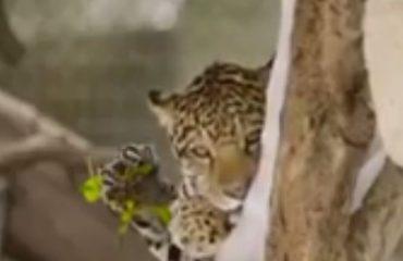 VIDEO/ Leopardët shijojnë për herë të parë dëborën, pamjet spektakolare nga kopshti zoologjik