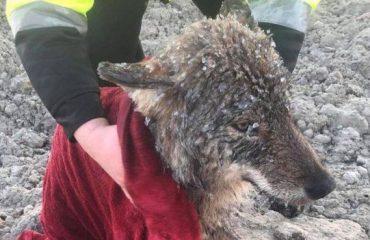 ESTONI/ Punëtorët nxjerrin qenin nga lumi i ngrirë por... shumë vonë kuptuan se kishin shpëtuar një ujk