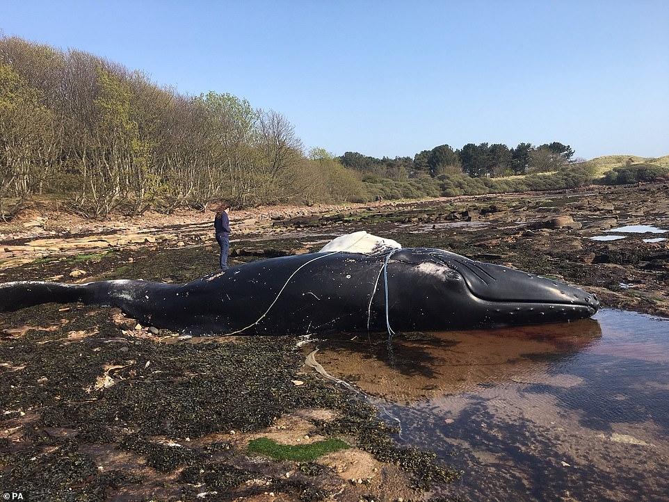 Balena e rrallë gjendet e ngordhur në plazhin skocez
