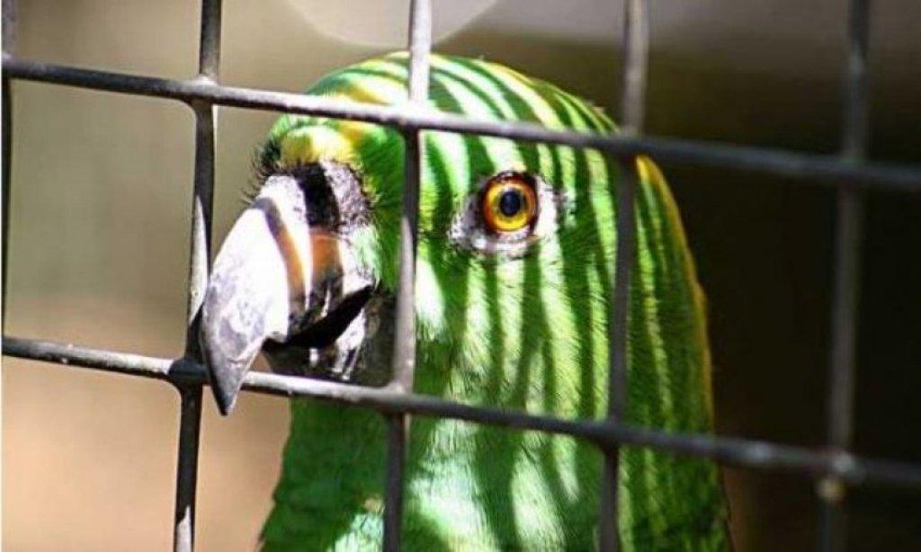 E rrallë, arrestohet një papagall në Brazil