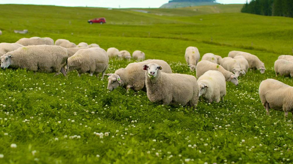 Më shumë dele se njerëz. Ku?