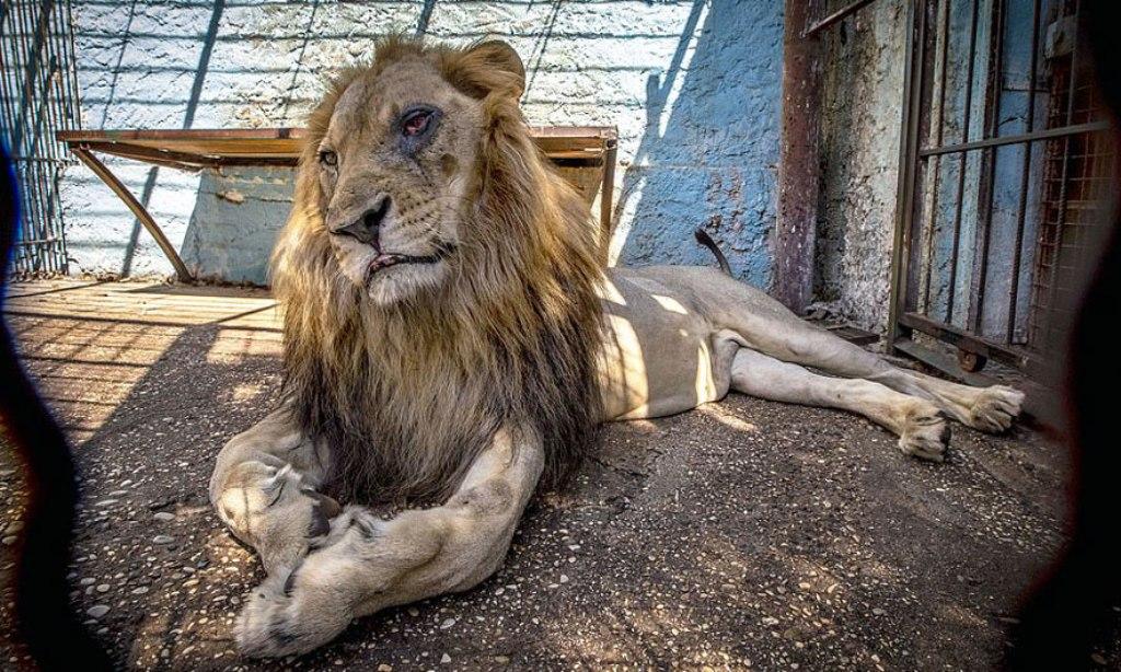 Çfarë ndodhi me luanin e keqtrajtuar në parkun e Fierit, pse ngordhi në Hollandë...