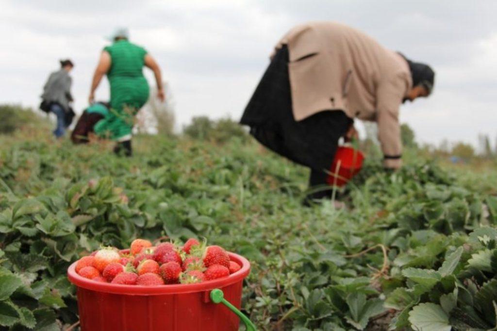 """""""Lulëzimi"""" i luleshtrydheve në Shqipëri, çmimi i ulët në shifra rekord, zgjerohet eksporti drejt BE"""