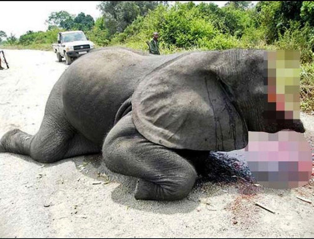 Elefanti me fytyrë të gjakosur nga gjahtarët që duan t'i marrin dhëmbët prej fildishi