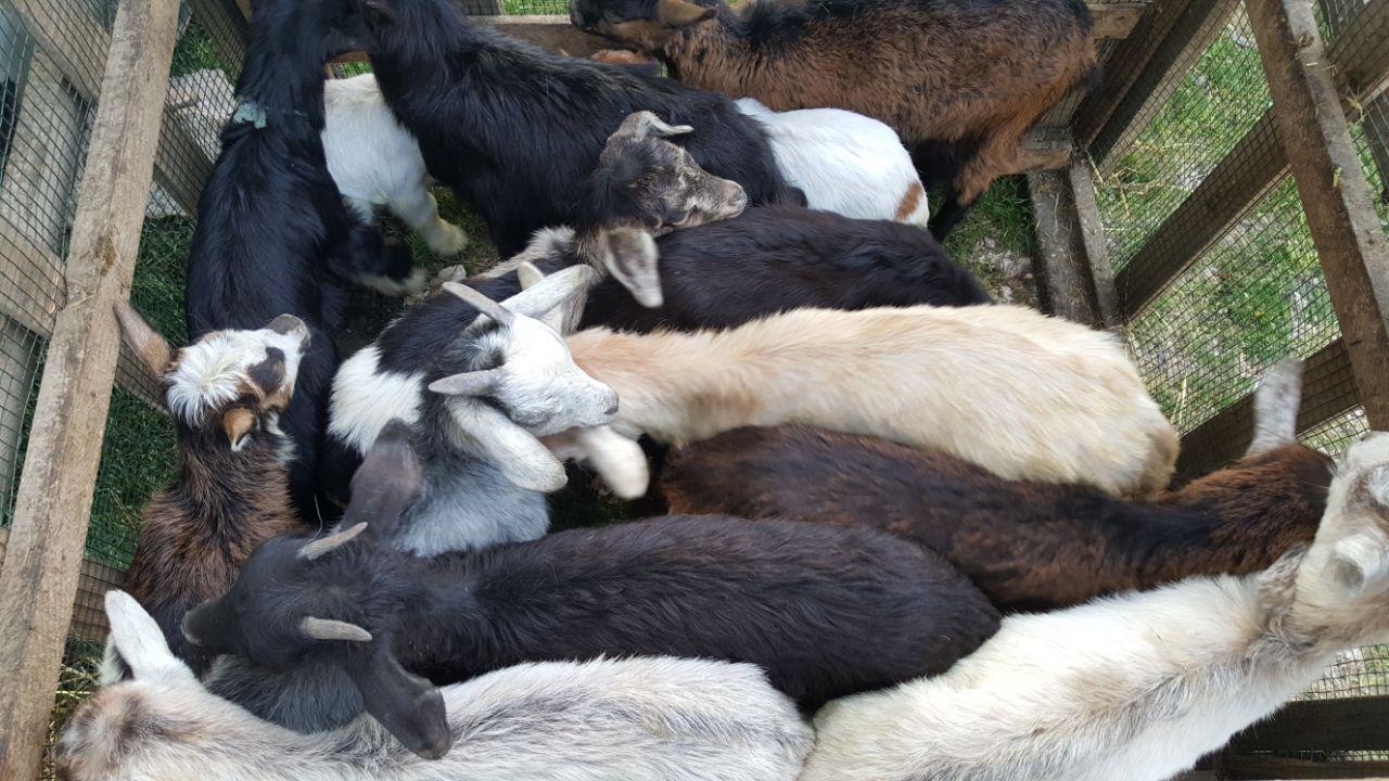 """Alarm për """"Plasjen"""", gjendet 10 krerë bagëti të ngordhura nga Antraksi në Libohovë"""