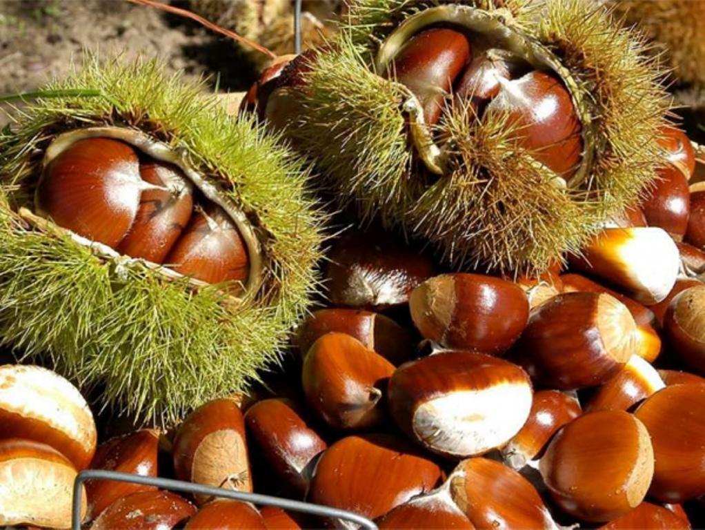 Pse gështenja e Tropojës është produkti shqiptar më i kërkuar në tregun botëror?