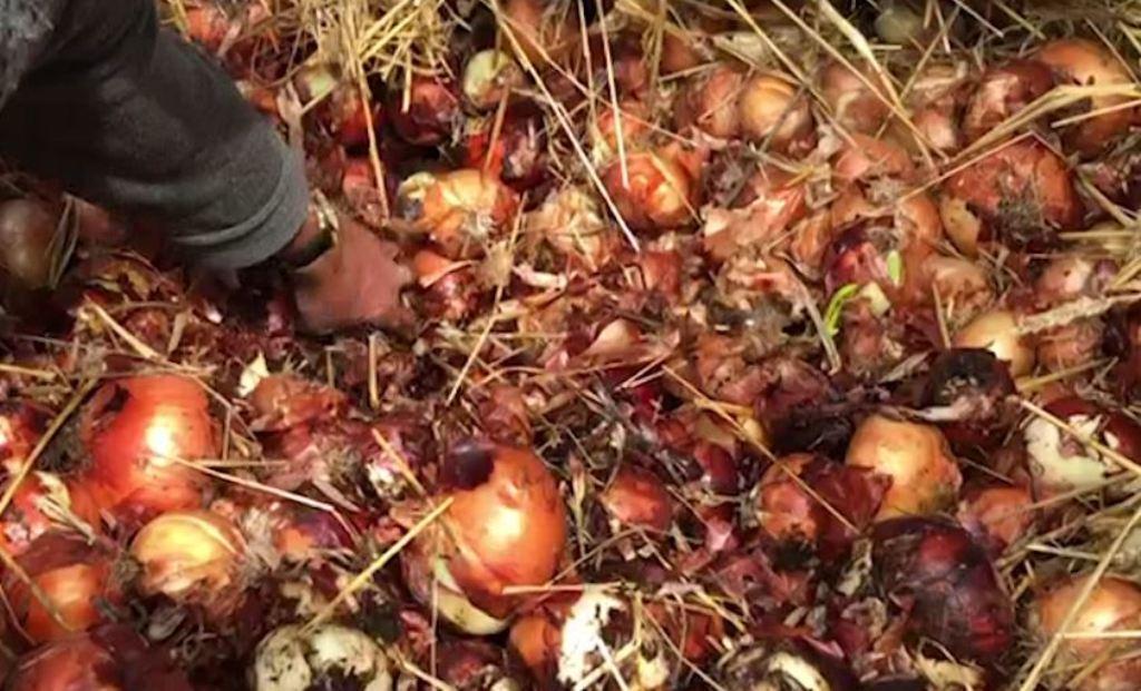 A ka më agronomë vendi ynë? Qepët e Korçës përfundojnë në kanal, fermerët: Fara e skaduar!